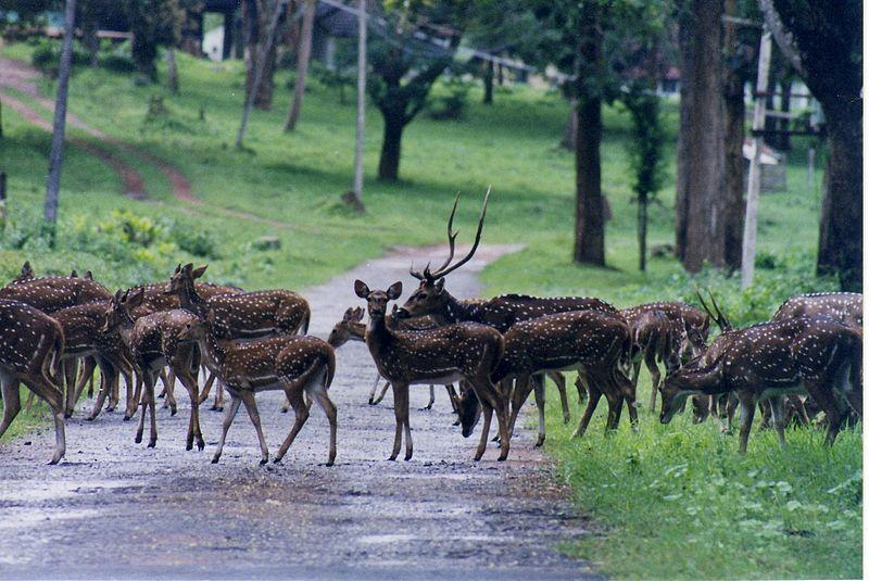 Spotted deer in Nagarhole