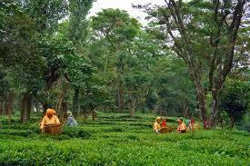 Palampur Tea Capital of North
