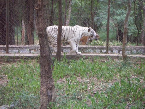 Betla National Park Jharkhand White Tiger
