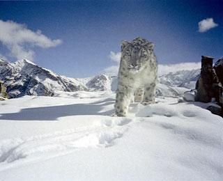 Snow Leopard Hemis