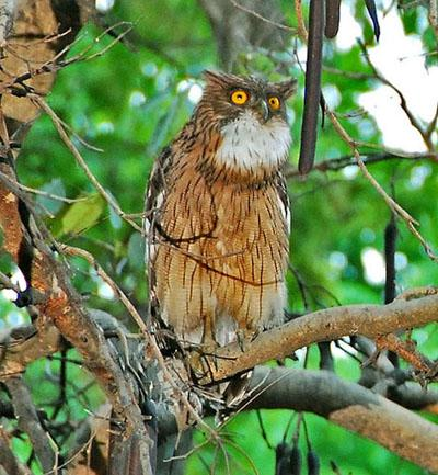 Brown Fish Owl Ketupa