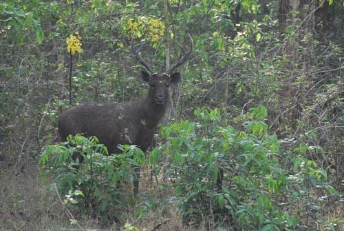 Sambar deer in forest