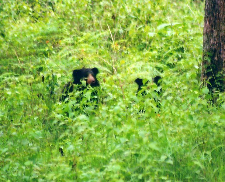Sloth bear pair