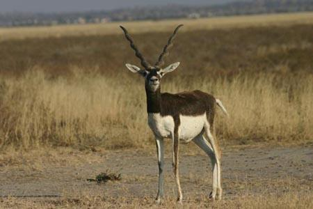 Black buck at tal chhapar