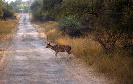 Deer in Sariska Reserve