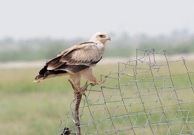 Tawny Eagle At Tal Chhapar Sanctuary