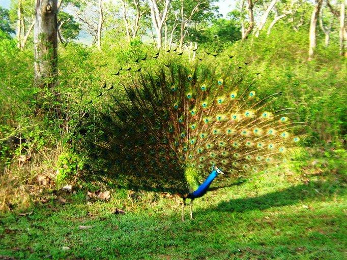 Peacock at Mudumalai
