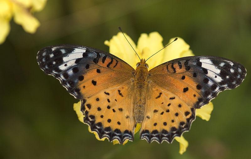 Argynnis Butterfly