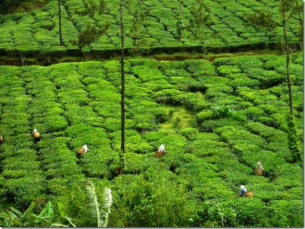 Munnar and Coorg tour will take you on journey of both tea and coffee