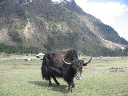 The Cantankerous Yak
