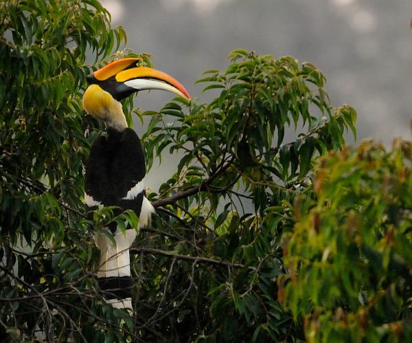 Great Hornbill on Mesua tree at Valparai