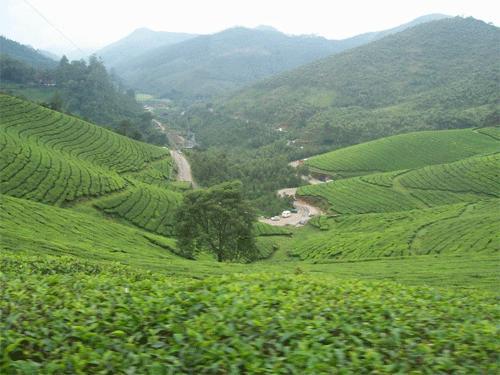 Tea Gardens, Devikulam