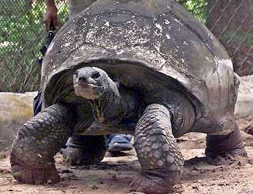 Giant tortoise calcutta