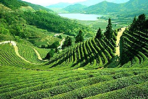 Tea Estate Darjeeling