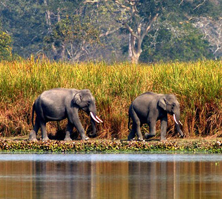 Tuskers in Kaziranga National Park