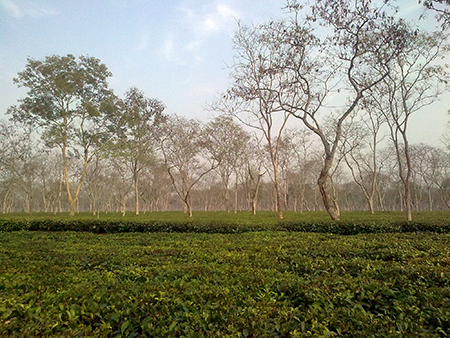 Tea plantation in Sonitpur district of Assam, India
