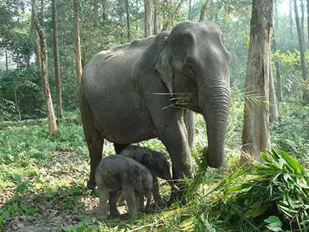 Elephants at Udalguri district