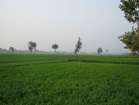 Green farms of Jats in Haryana