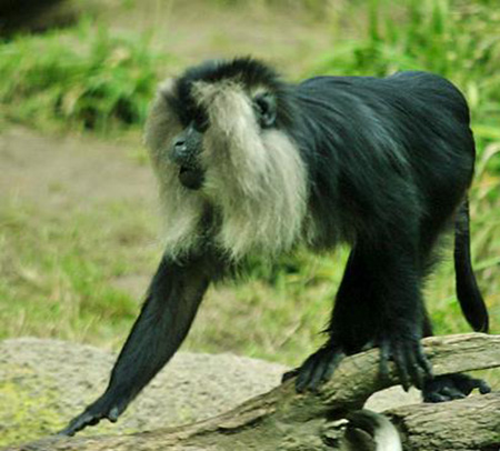 Lightmatter_lion-tailed_macaque