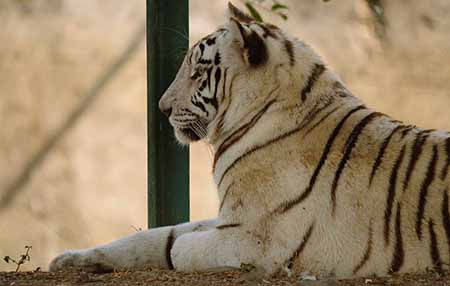 The White tiger preserve in the Indore Zoo, the state's largest metropolitan zoo
