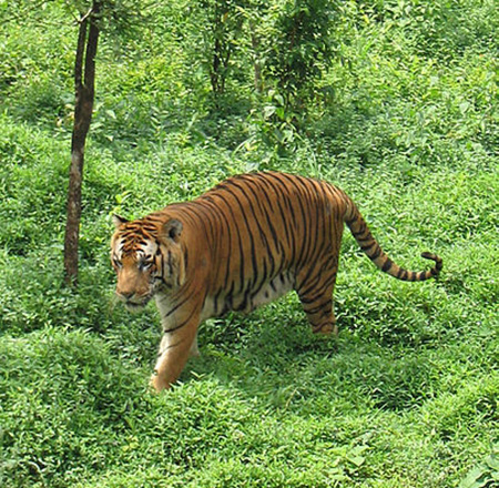 A Bengal tiger in the Kanyakumari Wildlife Sanctuary