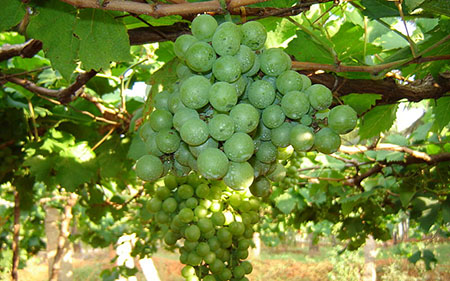 Grape cultivation in TamilNadu